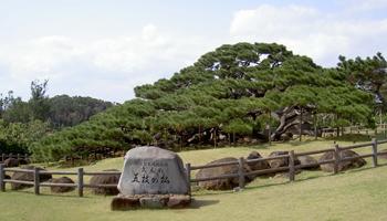 久米島町 五枝の松 日本名松100選 観光案内