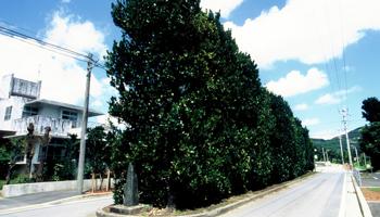 久米島町 チュラフクギ 天然記念物 観光案内